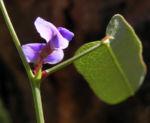 Purpur Korallenerbse Blatt gruen Hardenbergia violacea 07