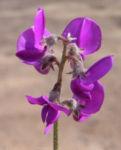 Purpur Korallenerbse Bluete violett Hardenbergia violacea 05