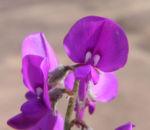 Purpur Korallenerbse Bluete violett Hardenbergia violacea 06