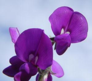Purpur Korallenerbse Bluete violett Hardenbergia violacea 11