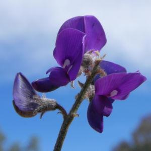 Purpur Korallenerbse Bluete violett Hardenbergia violacea 13