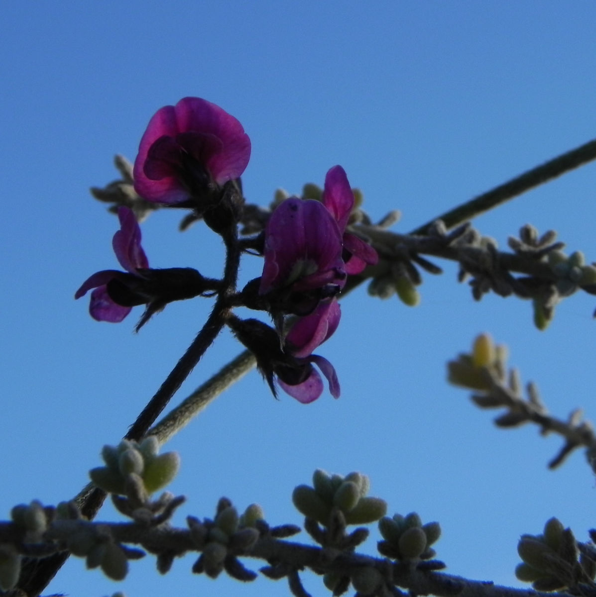 Purpur Korallenerbse Bluete violett Hardenbergia violacea