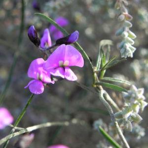 Purpur Korallenerbse Ranke Bluete violett Hardenbergia violacea 16
