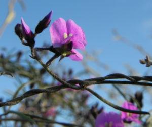 Purpur Korallenerbse Ranke Bluete violett Hardenbergia violacea 17