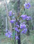 Purpur Korallenerbse Ranke Bluete violett Hardenbergia violacea 18