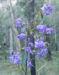 Zurück zum kompletten Bilderset Purpur Korallenerbse Ranke Schote Blüte violett Hardenbergia violacea