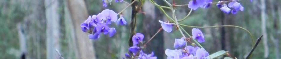 purpur-korallenerbse-ranke-schote-bluete-violett-hardenbergia-violacea