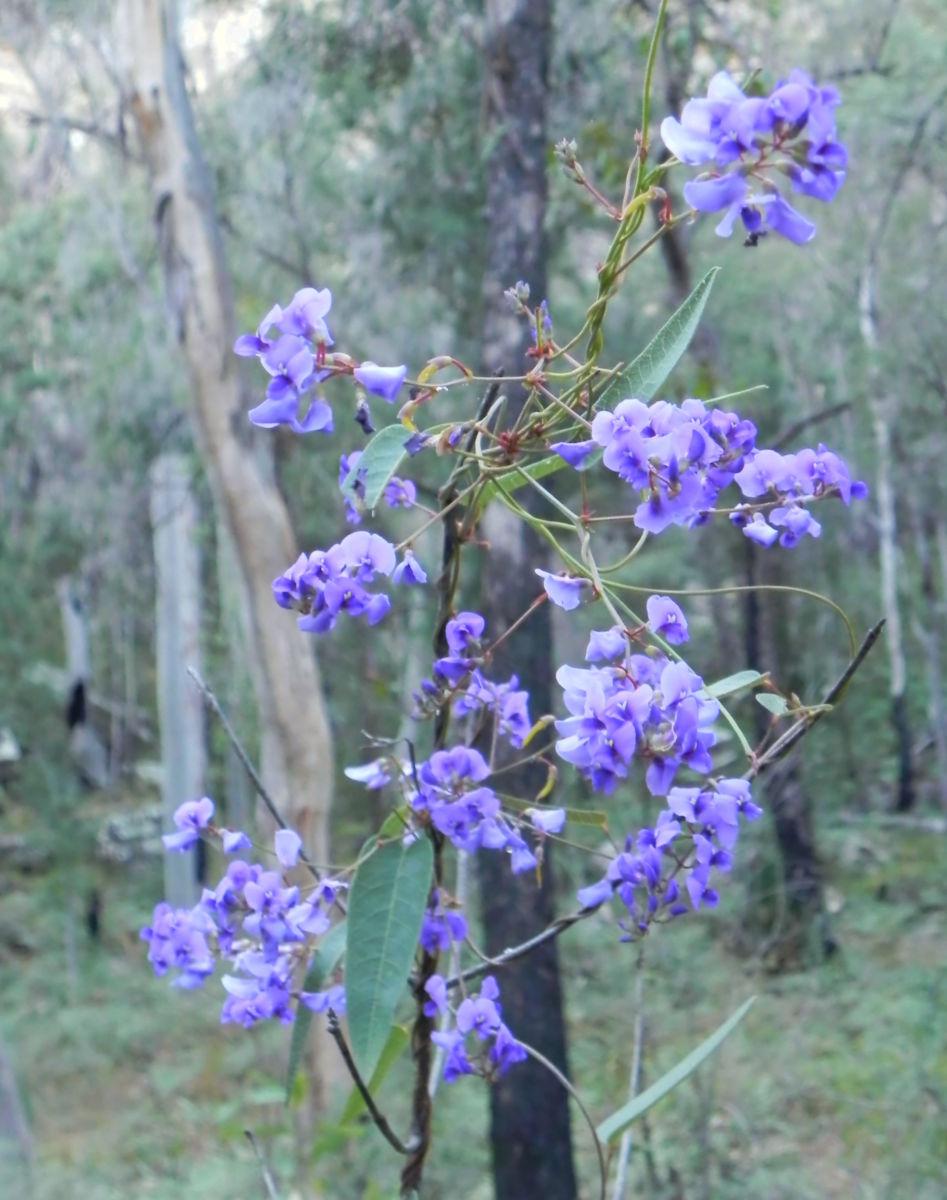 Purpur Korallenerbse Ranke Bluete violett Hardenbergia violacea