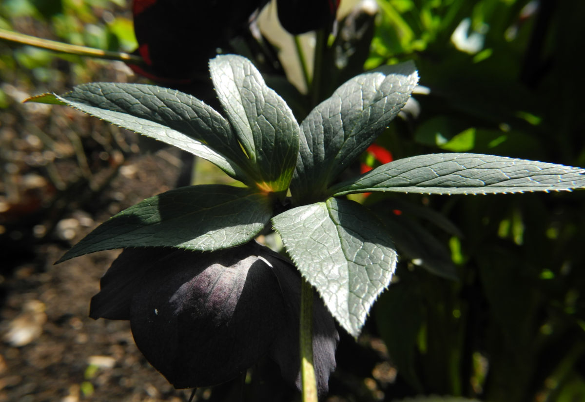 Purpur Nieswurz Blatt gruen Helleborus purpurascens