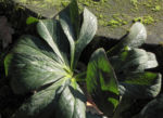 Purpur Nieswurz Blatt gruen Helleborus purpurascens 05