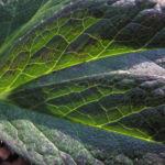 Purpur Nieswurz Blatt gruen Helleborus purpurascens 06