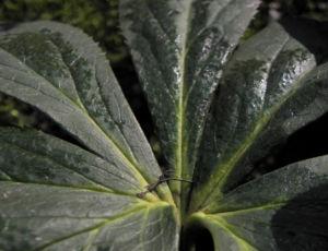 Purpur Nieswurz Blatt gruen Helleborus purpurascens 07