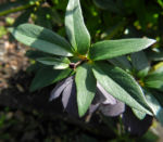 Purpur Nieswurz Blatt gruen Helleborus purpurascens 09