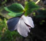Purpur Nieswurz Blatt gruen Helleborus purpurascens 10