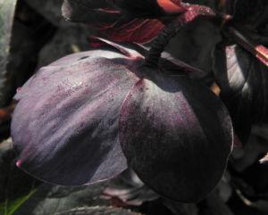 Purpur Nieswurz Bluete dunkelrot Helleborus purpurascens 07