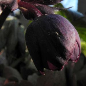 Purpur Nieswurz Bluete dunkelrot Helleborus purpurascens 11