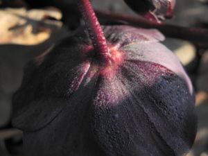 Purpur Nieswurz Bluete dunkelrot Helleborus purpurascens 14