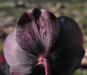 Purpur Nieswurz Bluete dunkelrot Helleborus purpurascens 25