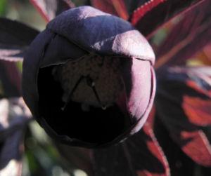 Purpur Nieswurz Bluete dunkelrot Helleborus purpurascens 26