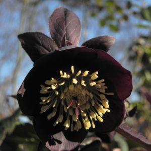 Purpur Nieswurz Bluete dunkelrot Helleborus purpurascens 28