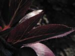 Bild:  Purpur-Nieswurz Blatt Blüte dunkelrot Helleborus purpurascens