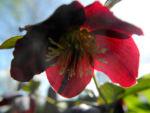 Bild:  Purpur-Nieswurz Blatt grün Helleborus purpurascens