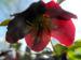 Zurück zum kompletten Bilderset Purpur-Nieswurz Blatt grün Helleborus purpurascens