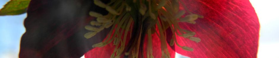 purpur-nieswurz-blatt-gruen-helleborus-purpurascens