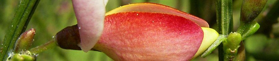 Anklicken um das ganze Bild zu sehen Purpur Zwergginster Blüte rose Chamaecytisus purpureus