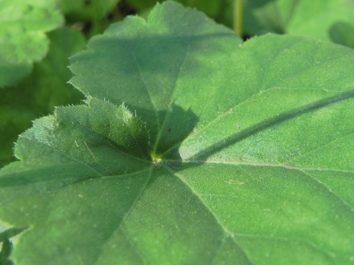 Purpurgloeckchen Blatt gruen Heuchera x brizoides