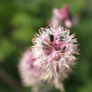 Purpurgloeckchen Bluete rose Heuchera x brizoides 07
