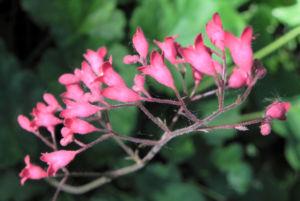 Purpurgloeckchen Bluete rot Heuchera x brizoides 11