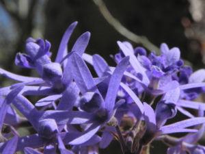 Purpurkranz Blüte blau Petrea subserrata 02