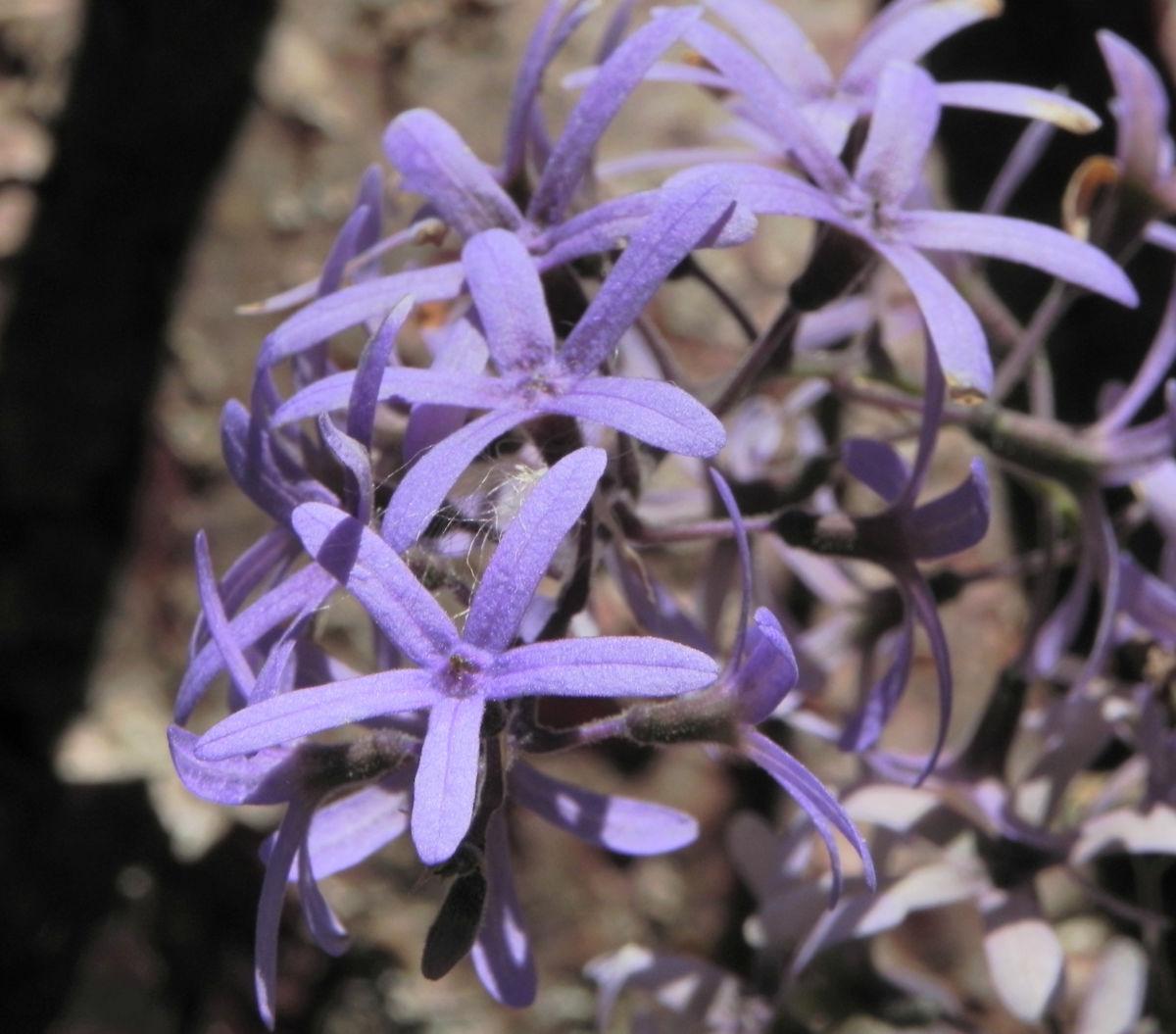 Purpurkranz Blüte blau Petrea subserrata