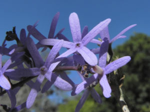 Purpurkranz Blüte blau Petrea subserrata 12