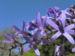 Zurück zum kompletten Bilderset Purpurkranz Blüte blau Petrea subserrata