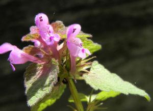 Purpurrote Taubnessel Bluete pink Lamium purpureum 06