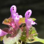 Purpurrote Taubnessel Bluete pink Lamium purpureum 07