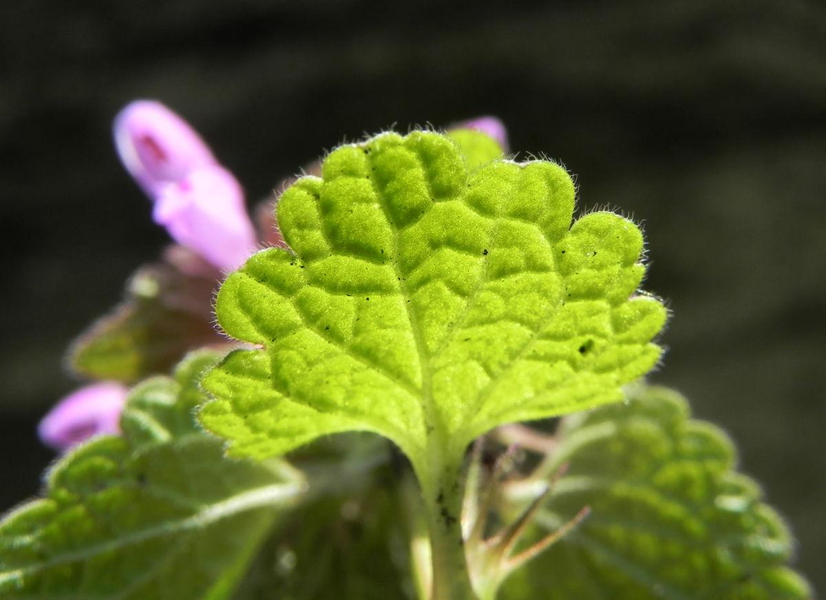 Purpurrote Taubnessel Bluete pink Lamium purpureum