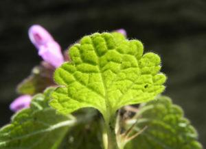 Purpurrote Taubnessel Bluete pink Lamium purpureum 10