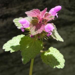Purpurrote Taubnessel Bluete pink Lamium purpureum 11