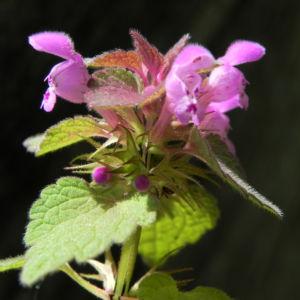 Purpurrote Taubnessel Bluete pink Lamium purpureum 14
