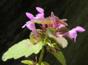 Purpurrote Taubnessel Bluete pink Lamium purpureum 15