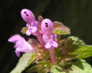 Purpurrote Taubnessel Bluete pink Lamium purpureum 16