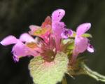 Bild: Purpurrote Taubnessel Blüte pink Lamium purpureum