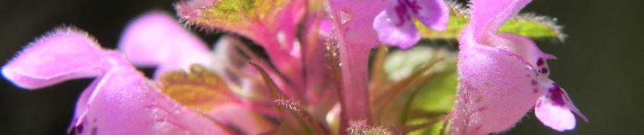 purpurrote-taubnessel-bluete-pink-lamium-purpureum