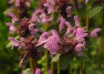 Purpurrote Taubnessel Bluete rosa Lamium purpureum0 2