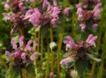 Purpurrote Taubnessel Bluete rosa Lamium purpureum03