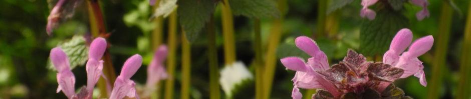 purpurrote-taubnessel-bluete-rosa-lamium-purpureum