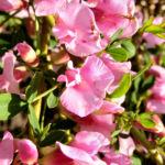 Bild: Purpur-Zwergginster Blüte rosa Chamaecytisus purpureus
